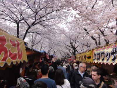 桜並木 平野神社