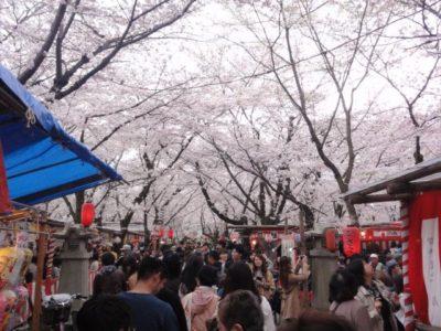 満開 桜 平野神社