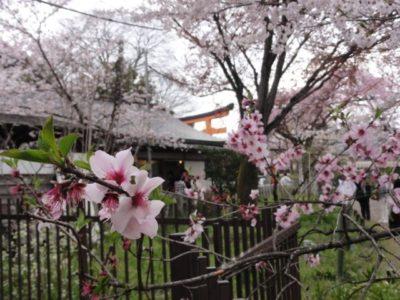 桜 鳥居 平野神社