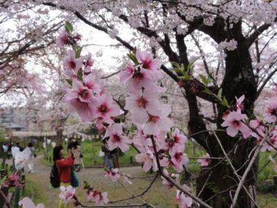 桜 平野神社