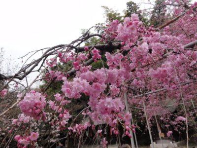満開の桜 平野神社