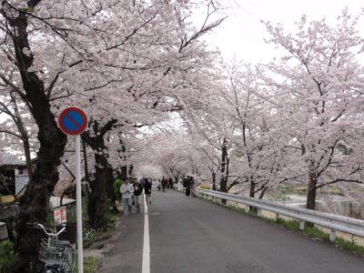桜並木 賀茂別雷神社