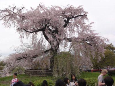 桜の木 八坂神社