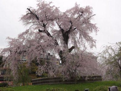 桜 八坂神社