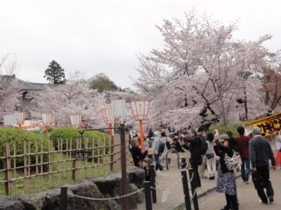 桜並木 八坂神社
