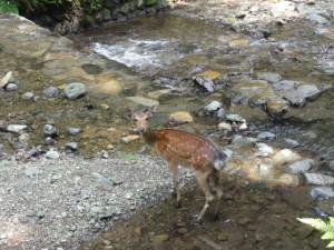 鹿がこっちを見る