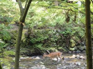 川の上を歩く鹿