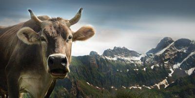 ヨーロッパの牛