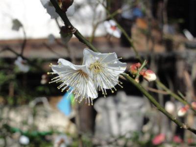 元慶寺の花