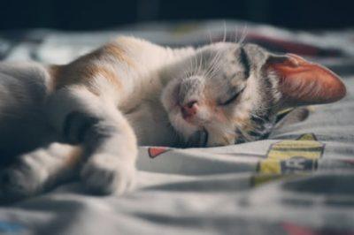 睡眠中 猫