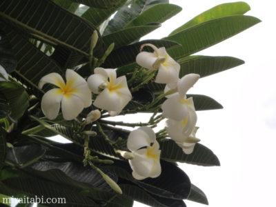 ホノルルの花