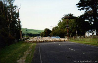 ニュージーランドの羊の群れ