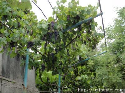 クタイシの葡萄