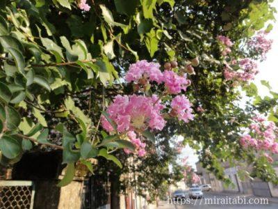 クタイシの花